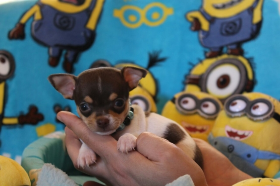 KUSA registered smooth-coat Chihuahua puppies for SALE!!
