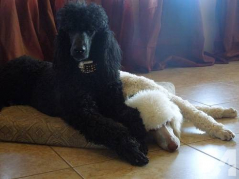 French Poodle Standard