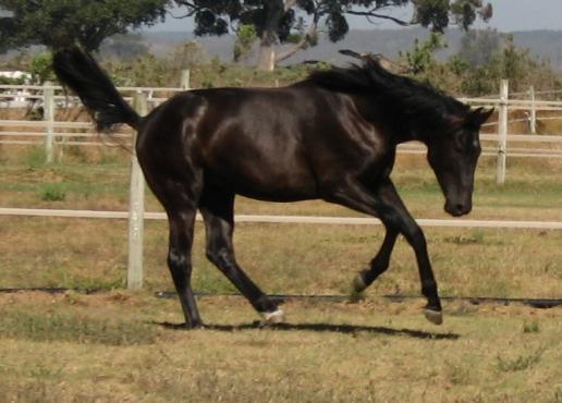stunning warmblood colt