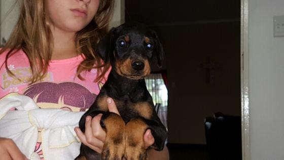 Large Doberman puppy