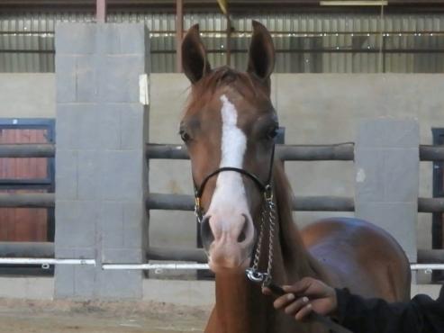 Registered Purebred Arabian Colt