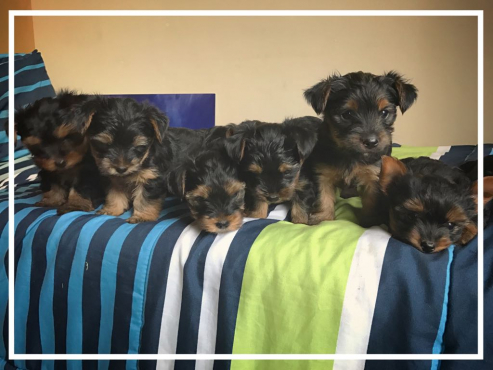 Yorkie Puppies for sale! Male and Female