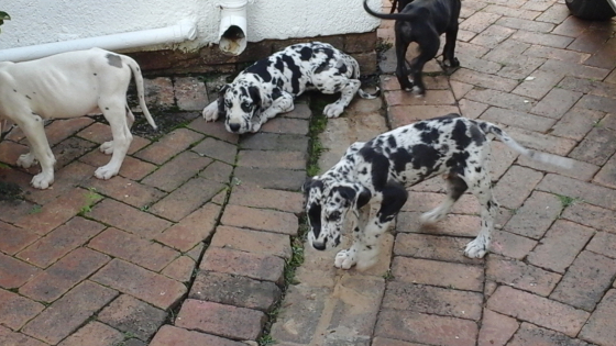 Gorgeous Registered Great Dane puppies available