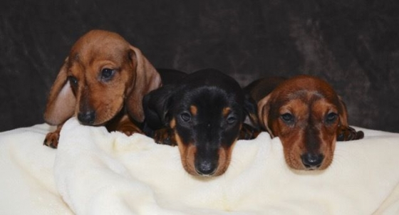 Miniature Dachshund Puppies - Ready to go this weekend!
