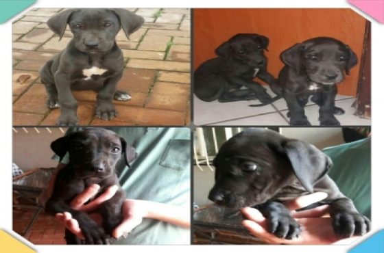 Great Dane Pups 8 weeks