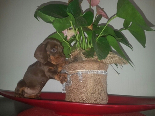 Mini Chocolate Dachshund puppies