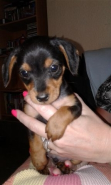 Miniature daschund puppies for sale