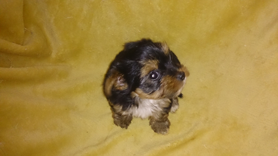 Yorkie female puppies available! Beautiful!