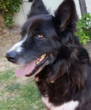 Beautiful, older border collie cross
