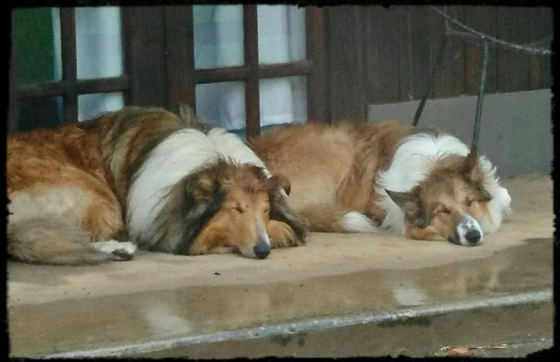 Opregte Lassie Kollie hondjies te koop / Pure bred Lassie Collie puppies for sale