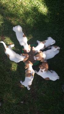 Jack Russel Puppies