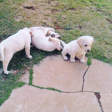 Adorable Labrador Puppies to good homes