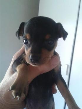 Opregte Miniature Doberman hondjie
