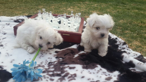 Pure bred long hair male maltese puppy