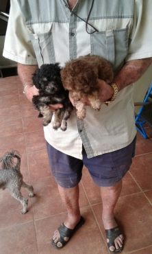 Purebred Miniature to Small French Poodle Puppies For Sale