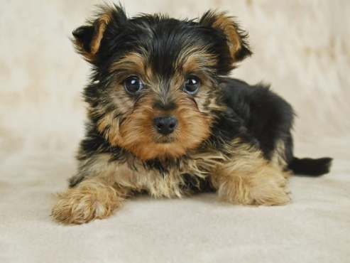 Minature Yorkshire Terrier