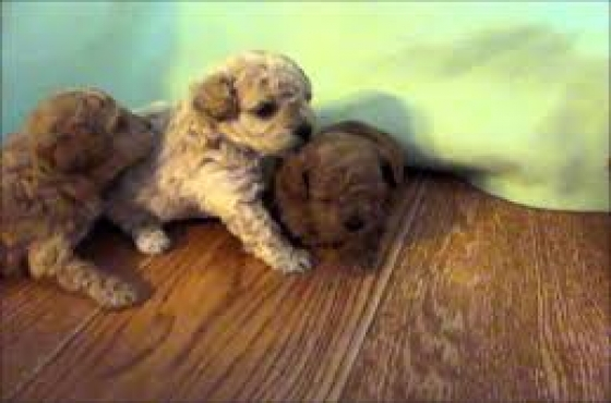 Gorgeous Male Miniature Puppies For Sale
