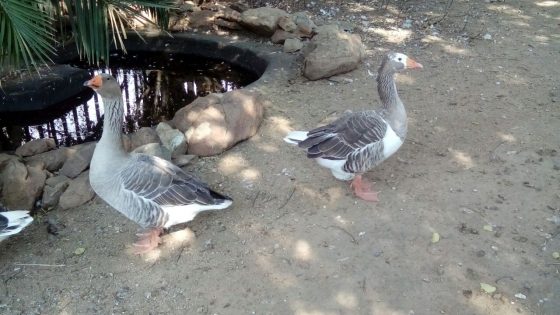 Family of 3 geese for sale.