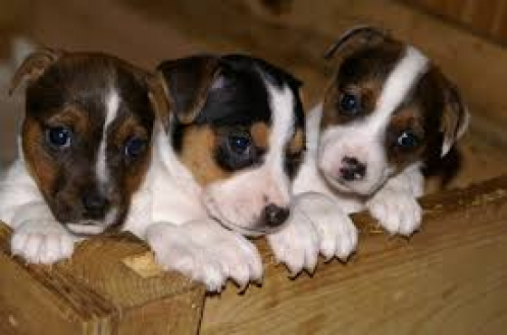 jack Russell puppies looking for good homes
