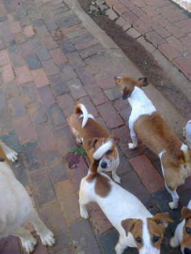 Jack Russell pure breed short leg from R950