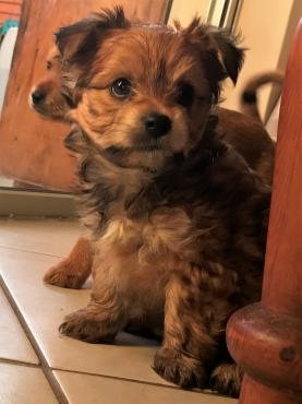 yorkshire terrier Puppy cross