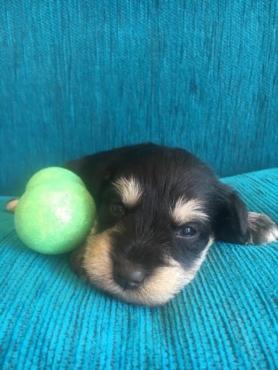 Purebred Miniature Schnauzer Puppies(8 weeks old)