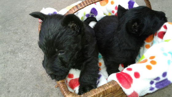 Scottish Terrier male puppy for sale