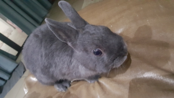 8 Month old Netherland Dwarf rabbit looking for a home