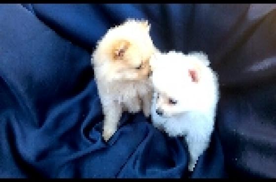 White Toypom puppies