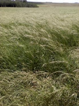 Eragrostis bale