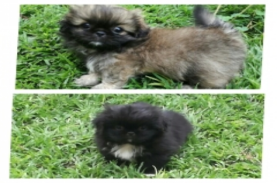 pekinese puppies for sale | Junk Mail