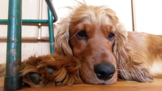 Lost Female Golden Cocker Spaniel