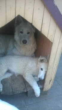WHITE SWISS SHEPHERDS FOR SALE
