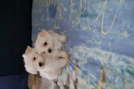 miniature Maltese pups