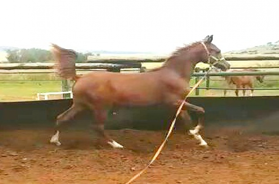 Registered Arabian Purebred Colt