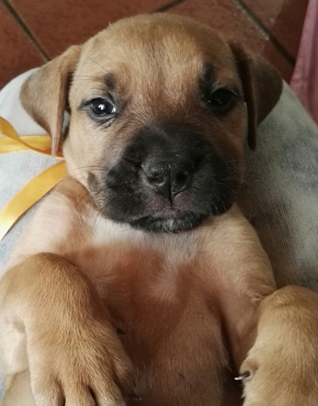 Adorable Bull mastiff puppies for sale