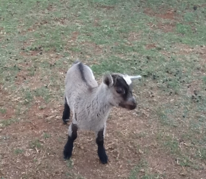 Cameroon goat kids