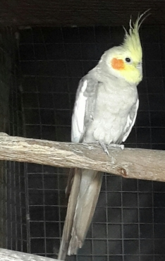 cockatiel + large parrot cage