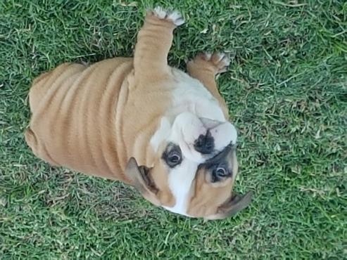 Gorgeous KUSA registered English Bulldog male puppy