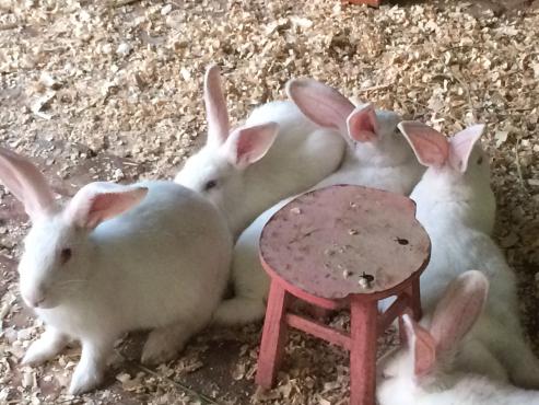 New Zealand white rabbits