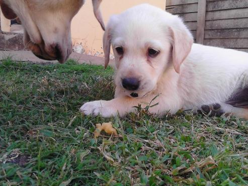 Opregte labrador hondjies