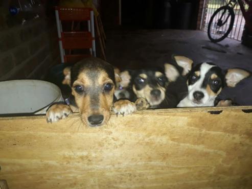 foxterrier X bokkie puppys