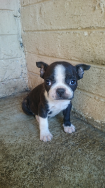 Beautiful Boston Terrier Puppies for sale - Kempton Park