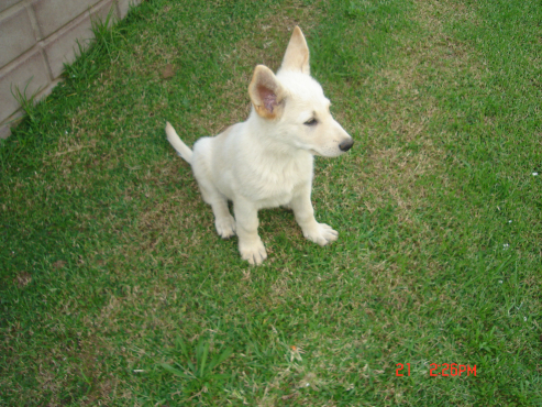 White German Shepherd puppy.