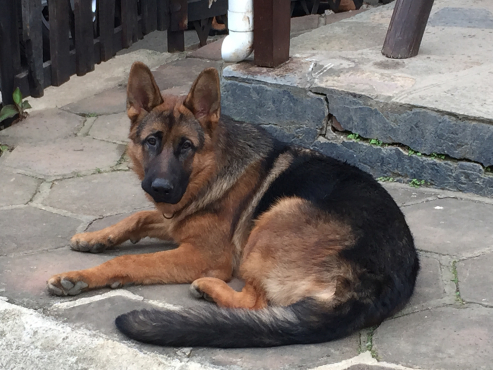 GermanShepherdPuppiesforsale,9weeksold,allDewormingsandInnoculationscompleteR1000each