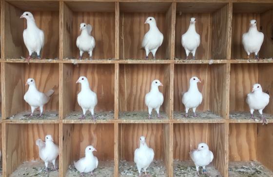 White Racing Pigeons