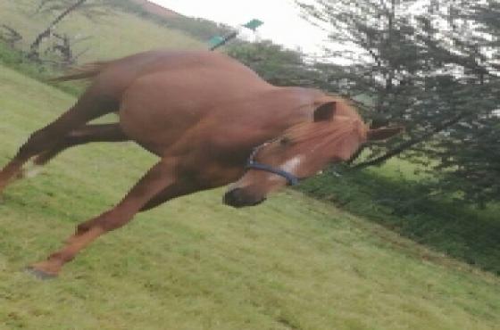 Boerperd x THB Stallion