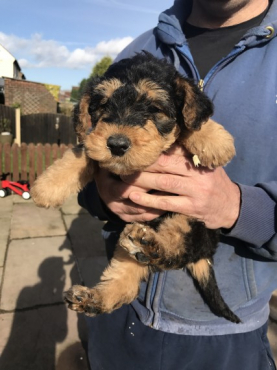 kUSA Registered Airedale Terrier Puppies for sale