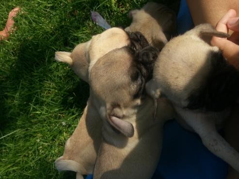 OPREGTE Pugs puppies tekoop R1000