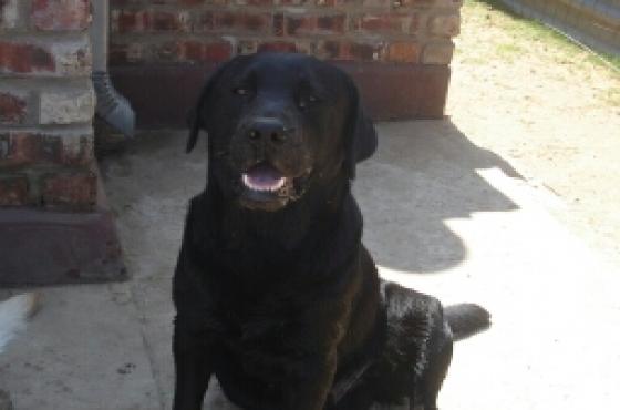 purebred Labrador black male pup